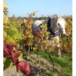 chateau-nodot-tradition-blaye-cotes-bordeaux-vendanges